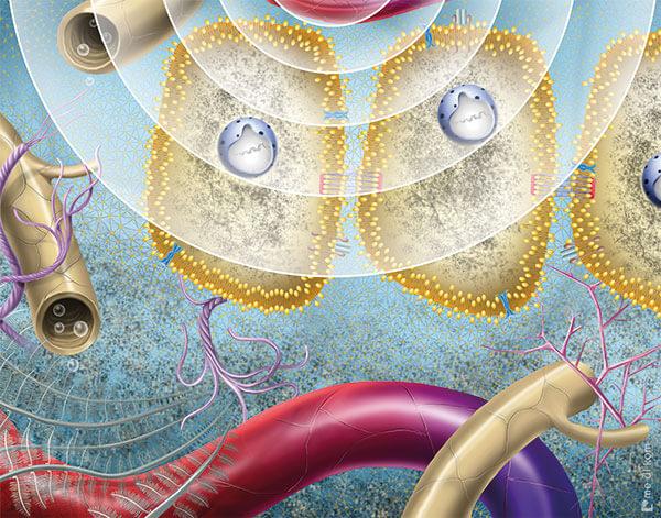 Zellen während Ultraschall